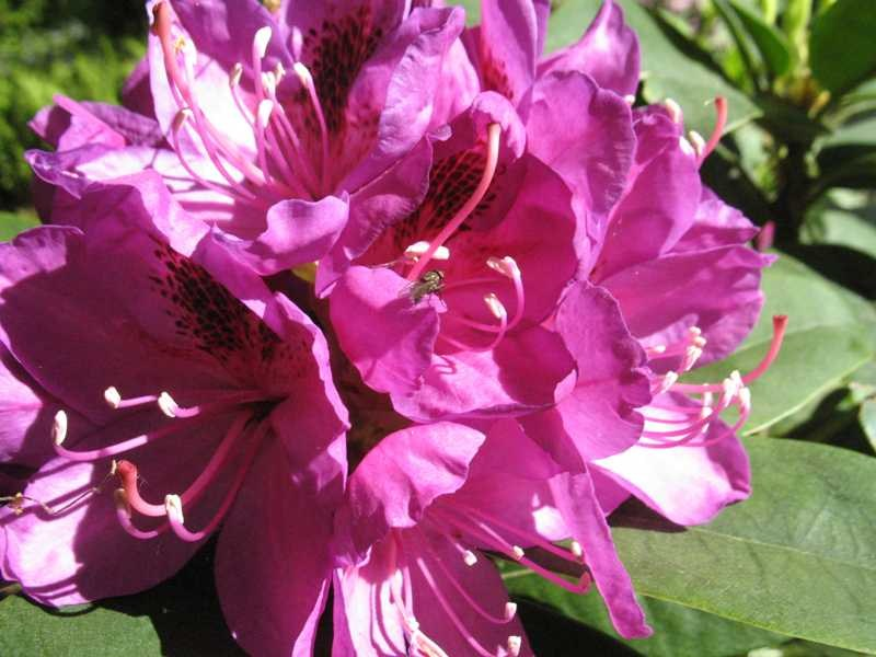 Rhododendron Anah Kruschke Nwa Plants Inc